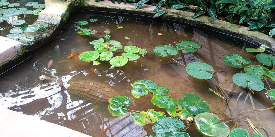 Крокодил, рыбки, пруд, парк Утопия, Израиль